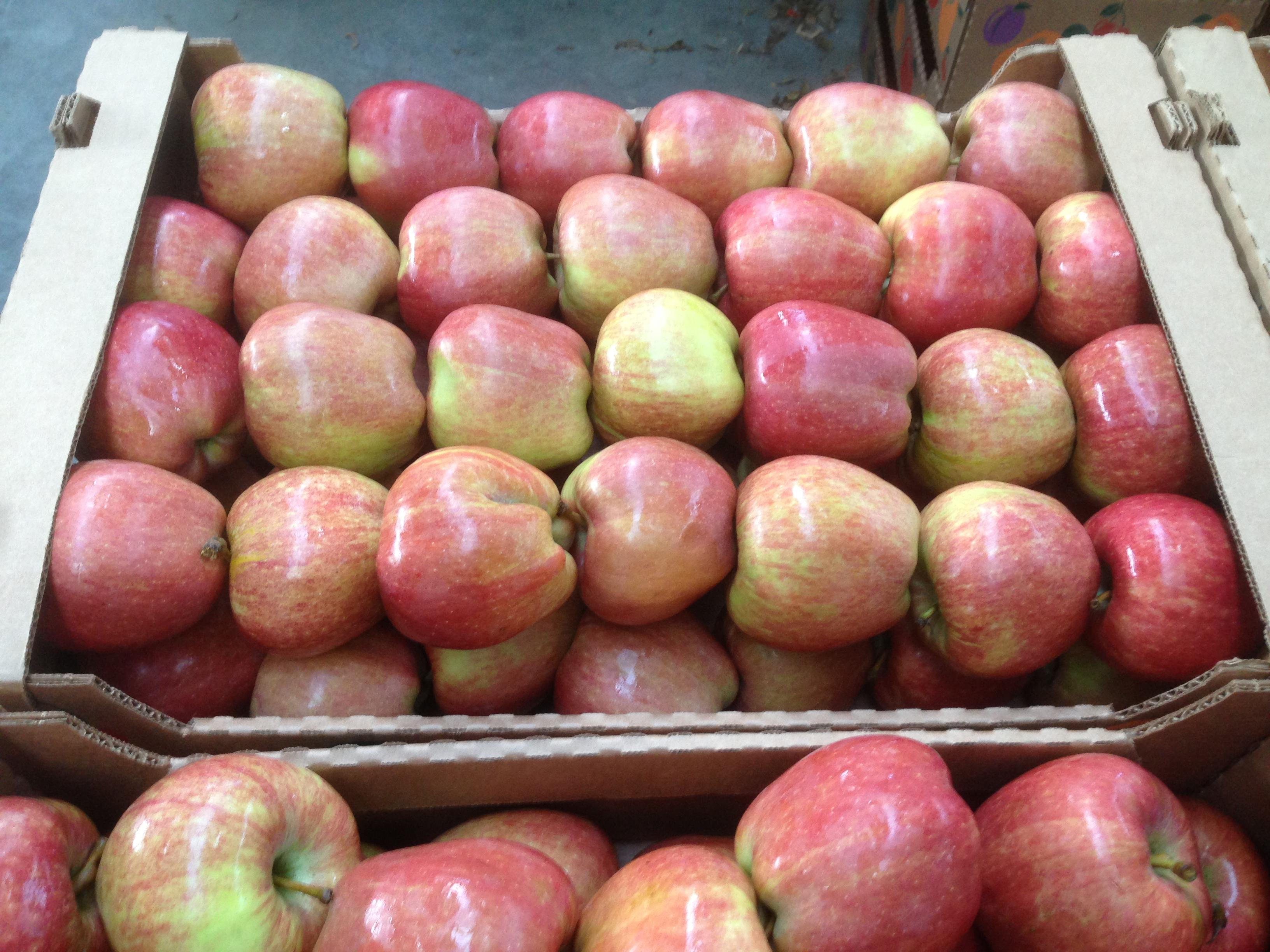Виды, типы и сорта яблонь с фото и 10
